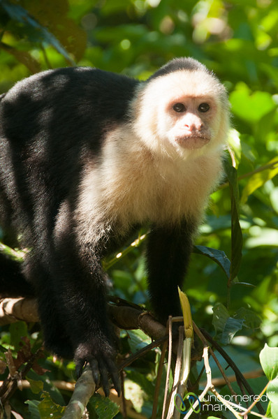 Capuchin Monkeys, Tortuguero - Costa Rica