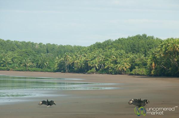 Vultures Sun Themselves on Beach - Bahia Ballena, Costa Rica