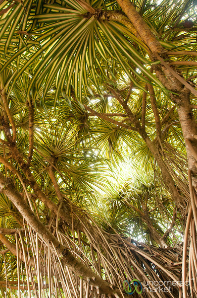 Spider Trees from Below - Tortuguero, Costa Rica
