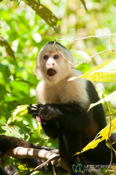 Surprise Capuchin Monkey - Tortuguero, Costa Rica