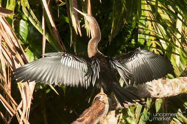 Anhinga (Comerant) Drying His Wings - Tortuguero Canals, Costa Rica