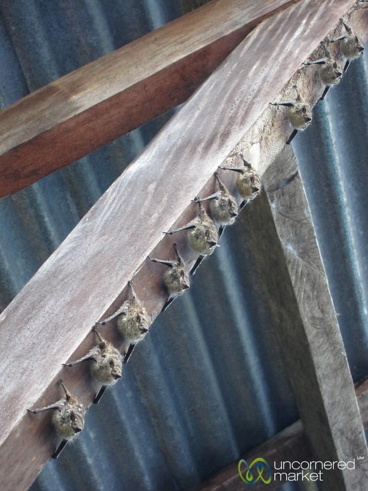 Bats in a Row - Tortuguero, Costa Rica
