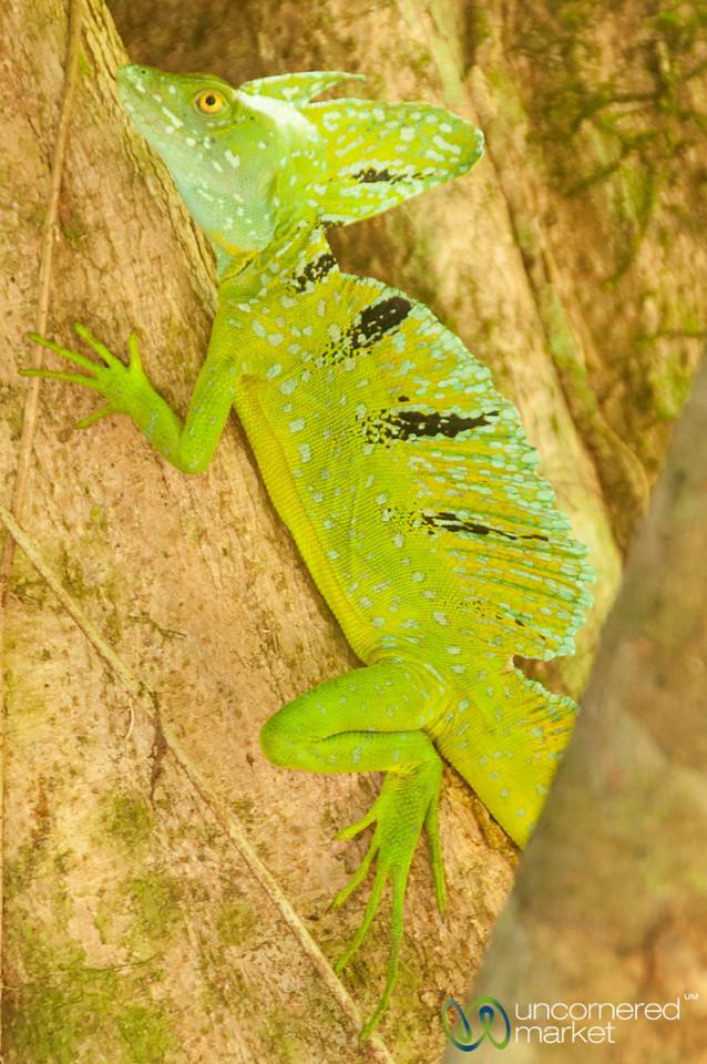 Jesus Christ Lizard - Tortuguero, Costa Rica