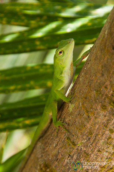 Green Lizard on a Tree - Tortuguero, Costa Rica