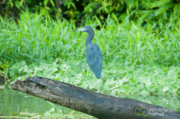 Little Blue Heron - Tortuguero Canals, Costa Rica