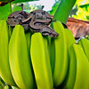 Boa Constrictor hiding in Bananas