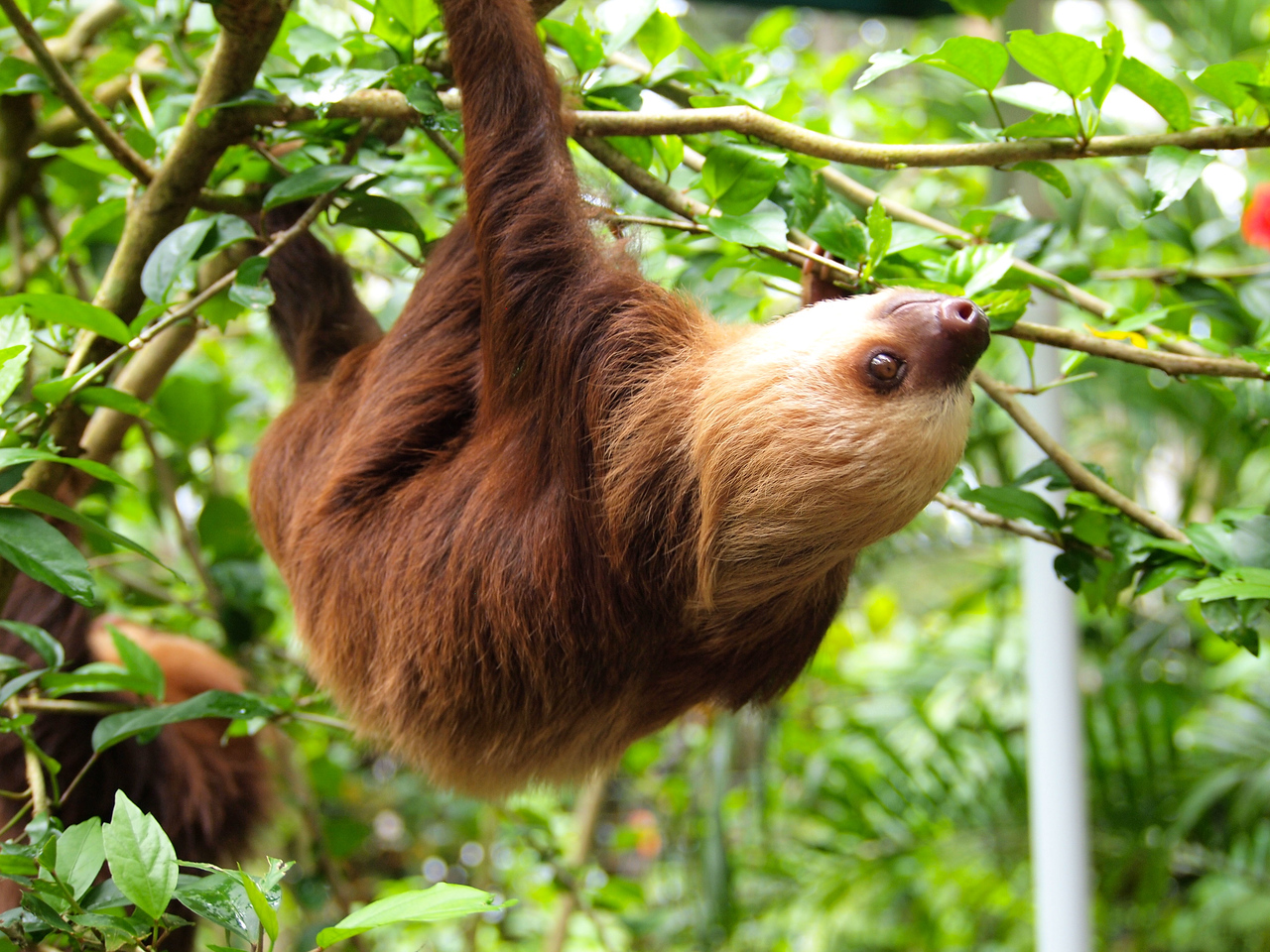 Sloth at Jaguar Rescue Center in Costa Rica