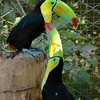 unlike these toucans;