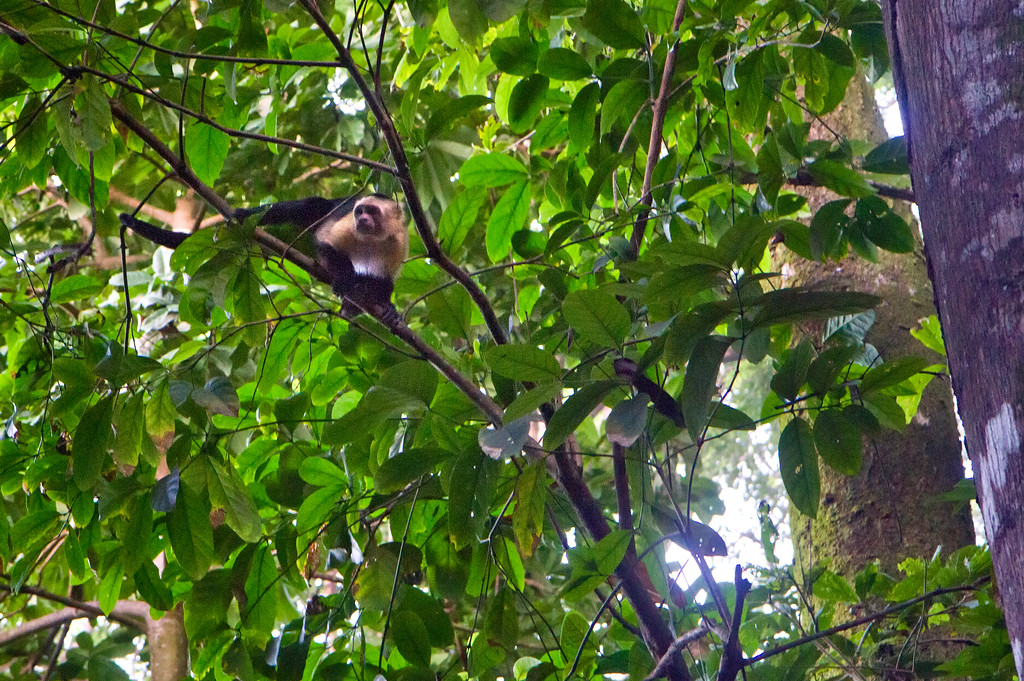 Monkey in Corcovado Costa Rica