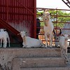with plenty of farms to check out, including these great goats.
