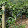 At the nearby finca, coffee and fruit trees were everywhere.
