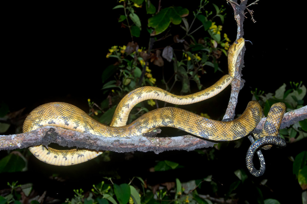 Costa Rica Snakes
