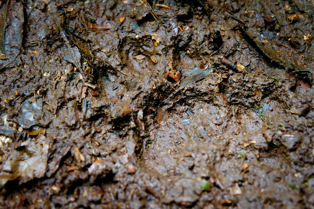 Jaguar Tracks Costa Rica