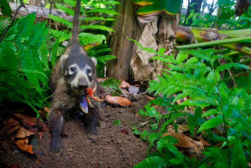 Coati eating a Halloween Crab