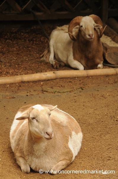 Plump Goat - Ataco, El Salvador