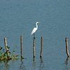 egrets were fishing,