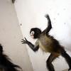 Arrrg! Monkey