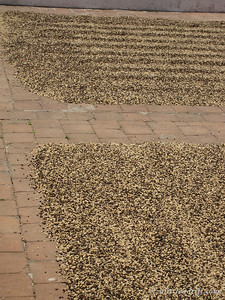 Low Quality Sun Drying Coffee Beans