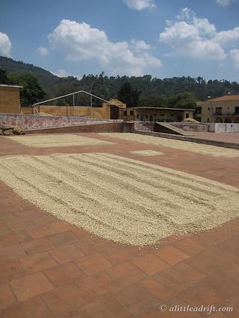 coffee beans on the Finca Filadelfia tour dry in the sun at a farm outside Antigua, Guatemala.