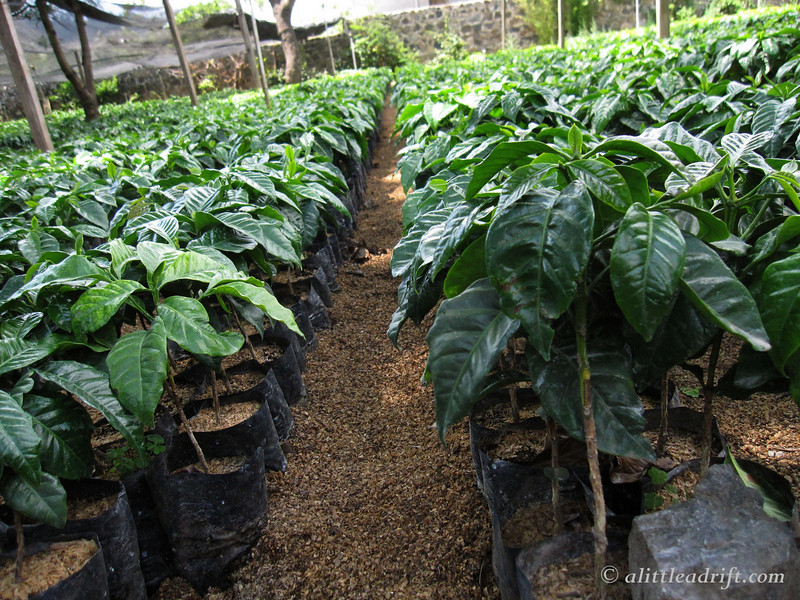 Rows of coffee trees ready to be planted across the farm in the Guatemalan soil