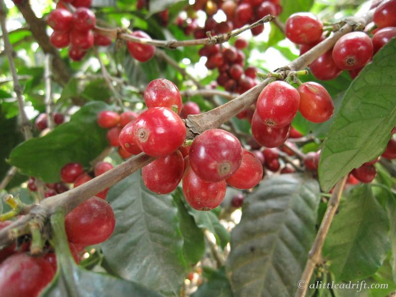 beautiful red coffee cherries at Finca Filadelfia near Antigua