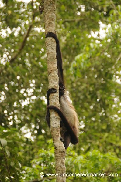 Spider Monkey - Tikal, Guatemala
