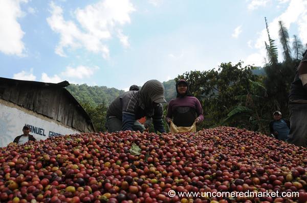 Coffee Berries - Lake Atitlan, Guatemala