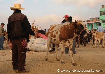 San Francisco El Alto Animal Market, Cow on Leash - Guatemala