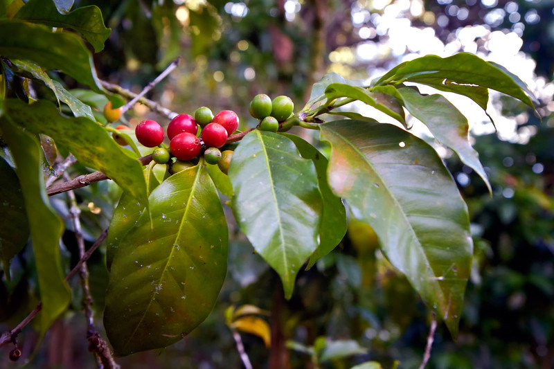 Coffee beans growing along the trail.