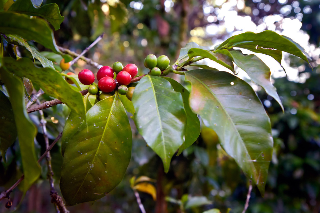 Guatemalan Coffee Trees