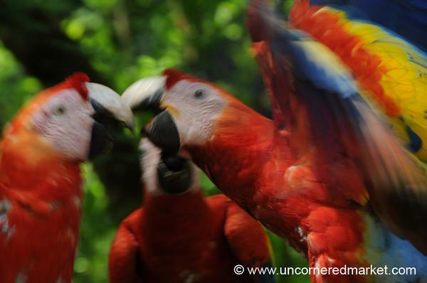 Scarlet Macaws at Copan Mayan Ruins, Honduras