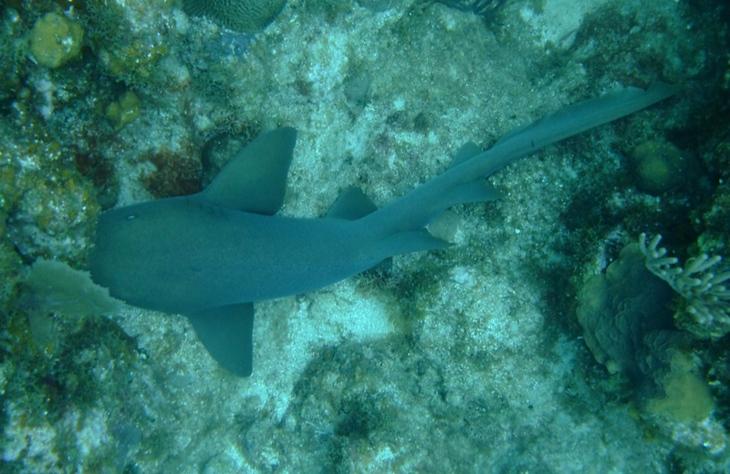 Nurse Shark - Utila, Honduras