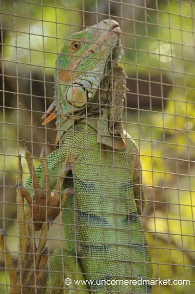Iguana Climbing - Utila, Honduras