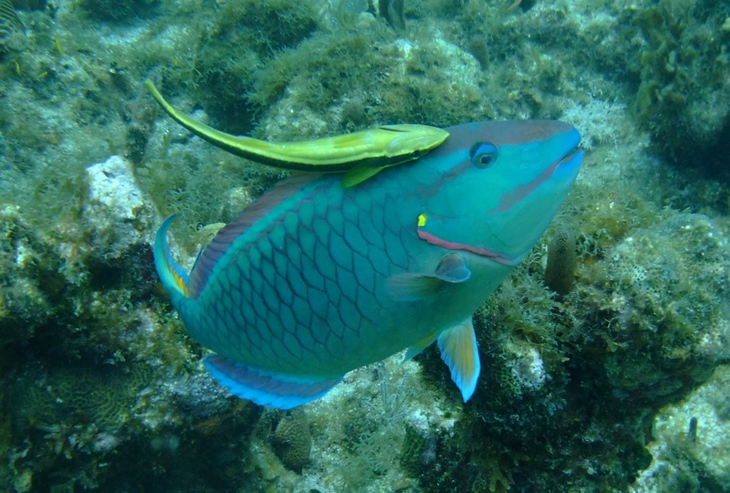 Parrot Fish - Utila, Honduras