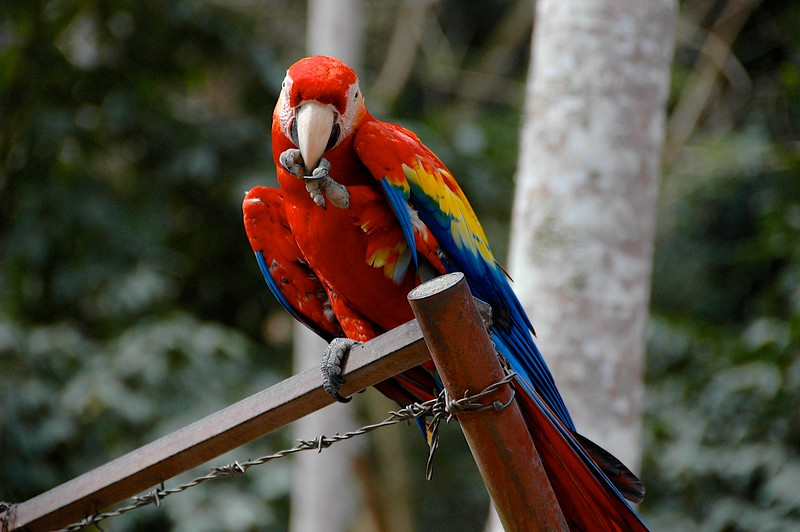 The next morning we began a lovely day at Copan Ruinas, where upon our arrival we were greeted by the resident beautiful scarlet macaws.