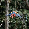 Finishing our visit, we headed to the gate, ready to leave; we were escorted (sort of) by this lovely macaw in flight.
