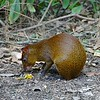There are also agoutis in the area, eating what the birds drop.  We thought they were pretty cool, too; this area is a refuge for them, and it is said that they seem to be approaching extinction otherwise.
