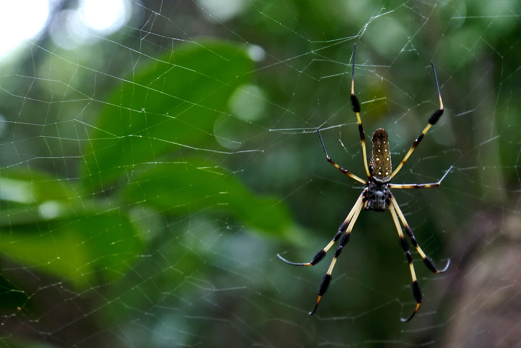 Utila Honduras Jungle Spider