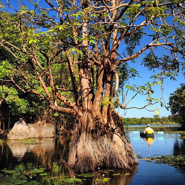 Early morning water lily navigation, kayaking Lake #Nicaragua @jicaroeco