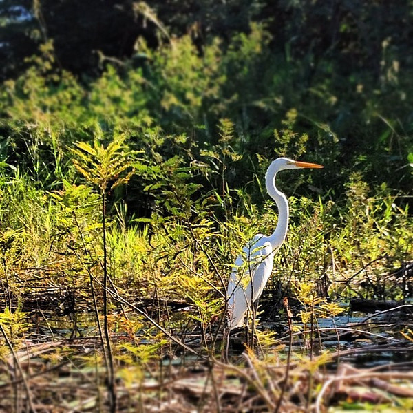 The egret, one of our many neighbors on Lake #Nicaragua