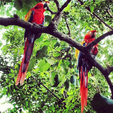 Abbott & Costello, two rescued macaws. Great conversationalists. #morgansrock