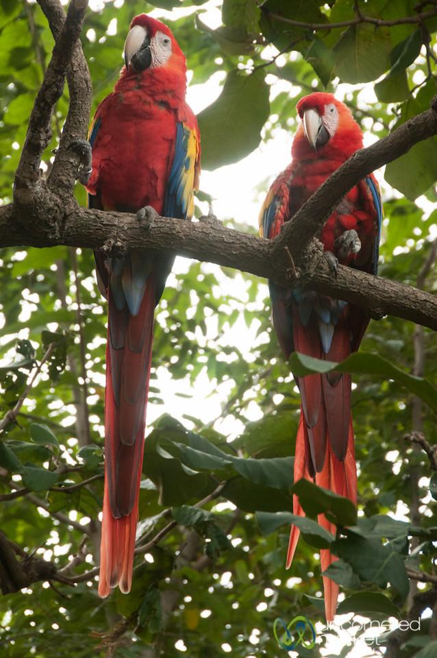 Macaws at Morgan's Rock Farm, Nicaragua