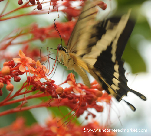 Butterfly at Work - Isla de Ometepe, Nicaragua