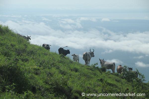 Cows on the Edge - El Hoyo, Nicaragua