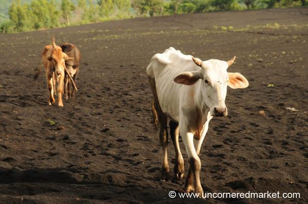 Skinny Cow - Nicaragua