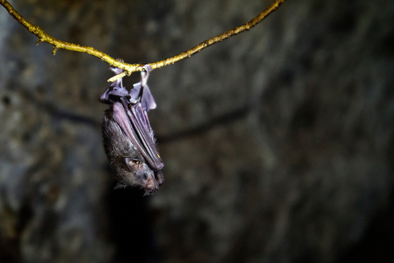 Bats in the lava tubes.