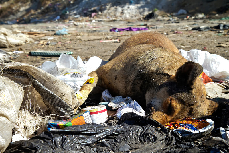 Dead dog in the landfill.