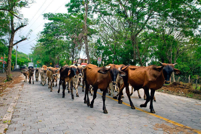 Traffic jam on Ometepe Island.