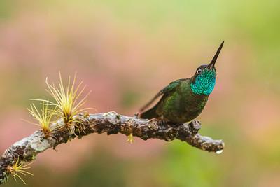 Magnificent hummingbird (Eugenes fulgens)
