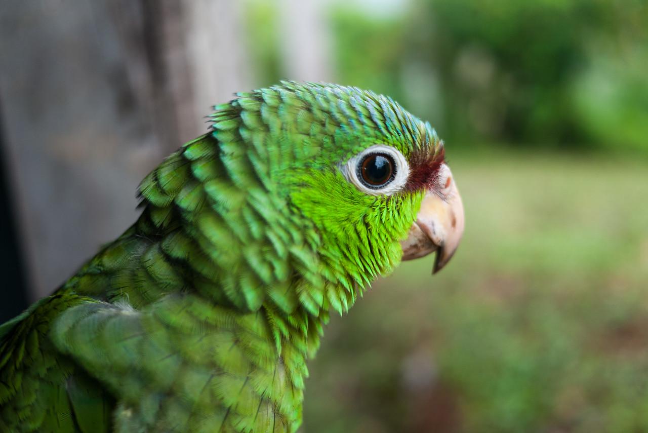 A pet bird at Silico Creek, Panama.